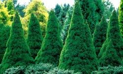 Picea_glauca_Conica_2