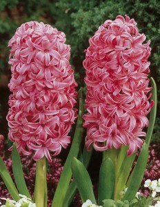 hiacynt-pink-pearl-3-szt_0_b