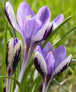 krokus spring beauty 1