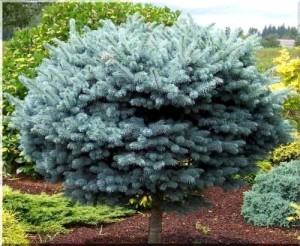 picea-pungens-glauca-glo_103538