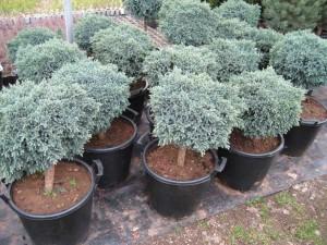 Juniperus-Squamata-Blue-Star-21
