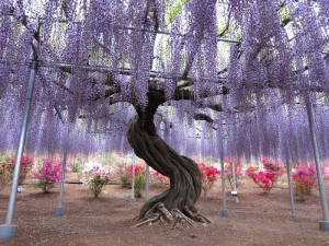 Whimsical-Wisteria-Gardens-and-Tunnel-in-Japan-5