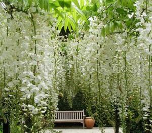 glicynia Alba kwiat 3
