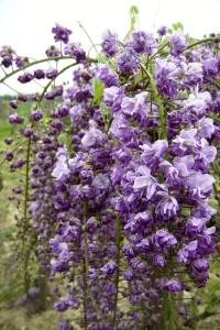 wisteria_floribunda_violacea_plena