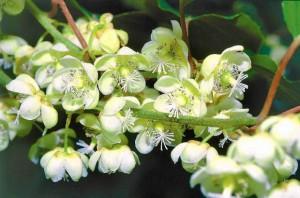 z12847563Q,AKTINIDIA-jest-dwupienna--Jedne-rosliny-tworza-kwiaty