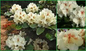 Rhododendron 'Breslau'