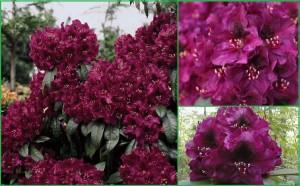 b035660_Rhododendron_Olin_ODobbs_0