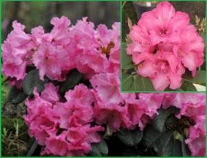 pol_pm_Rhododendron-CLAUDIUS-rozanecznik-4L-rododendrony-3321_2