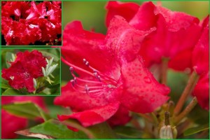 różanecznik-corinna-3-of-3