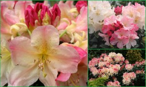rhododendron-percy-wiseman (5)-600x600