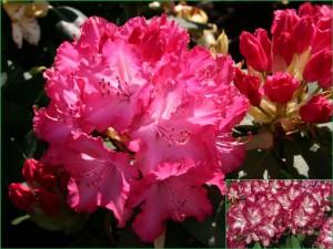 gewellte, rote Blüten, innen rosigweiß, mittelgrüne Belaubung