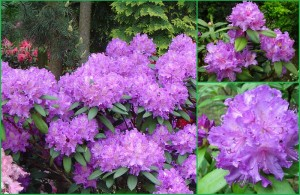 rhododendron_alfred