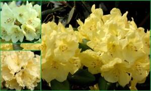 rhododendrongoldinetta(groblumigehybride)184918