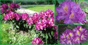 rododendron_libretto_rhododendron_libretto03
