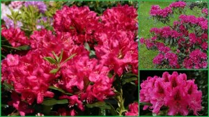 rododendron_nova_zembla_rhododendron_nova_zembla05
