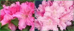 rododendron_rodrigo_rhododendron_rodrigo02