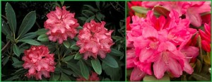 RHODODENDRON SNEEZY, PINK, FLOWERS, CLOSE UP