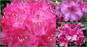 rododendron_williamsianum_evelyn_rhododendron_williamsianum_evelyn01
