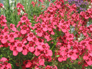 diascia_upright_red_diastured