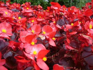 red-wax-begonias