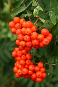 Detail of the rowanberry