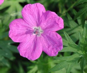 - Bodziszek czerwony (Geranium sanguineum) 1