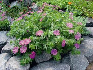 - Bodziszek czerwony (Geranium sanguineum)