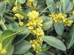 Bukszpan zwyczajny (Buxus sempervirens) 1
