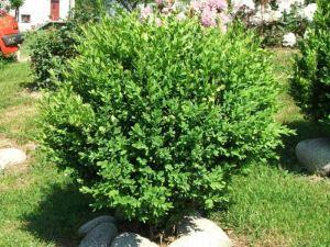 Bukszpan zwyczajny (Buxus sempervirens)