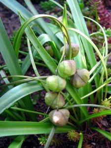 Cebulica dwulistna (Scilla bifolia) 2