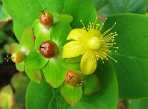 Dziurawiec (Hypericum)1