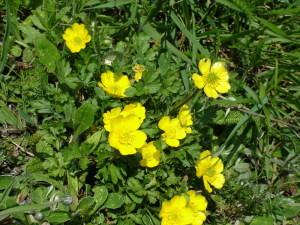 Jaskier bulwkowy (Ranunculus bulbosus)