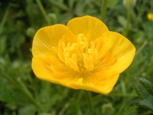 Jaskier bulwkowy (Ranunculus bulbosus) a