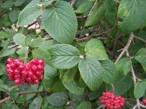 Kalina hordowina (Viburnum lantana)1