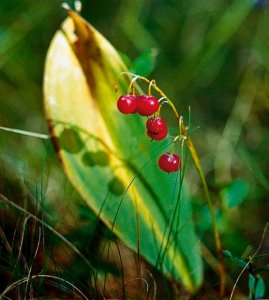 Konwalia majowa (Convallaria majalis) 1