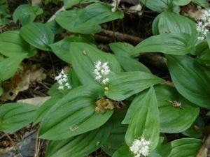 Konwalijka dwulistna (Maianthemum bifolium) 1