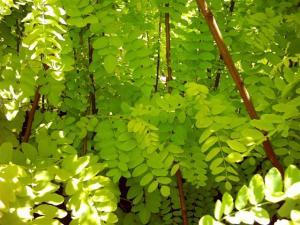 Robinia akacjowa (Robinia pseudoacacia)1