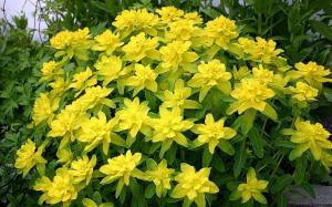 Wilczomlecz (Euphorbia)