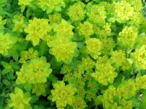 Wilczomlecz (Euphorbia)1