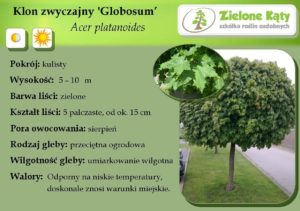 klon globosum