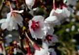 Wiśnia wczesna 'Kojou no mai'- Lot motyla