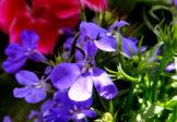 Rośliny balkonowe – Co zrobić by zachwycały aż do przymrozków?