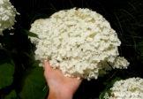 Białe kule giganty – Hortensja drzewiasta 'Incrediball'