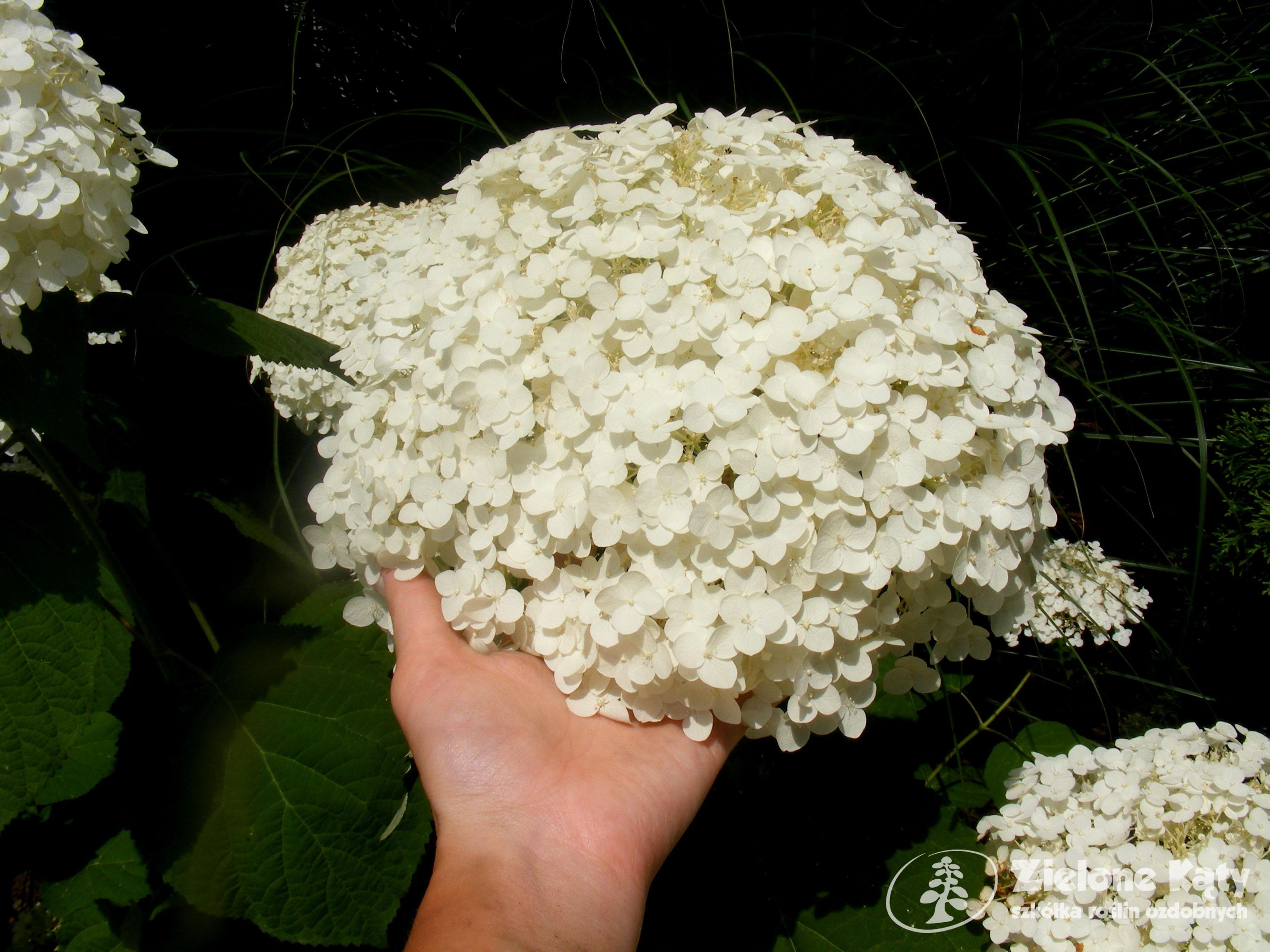 Białe Kule Giganty Hortensja Drzewiasta Incrediball