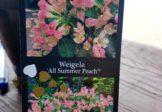 Krzewuszka cudowna 'All Summer Peach'